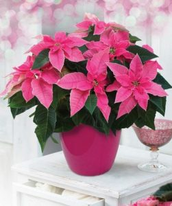 alexandriko roz foux