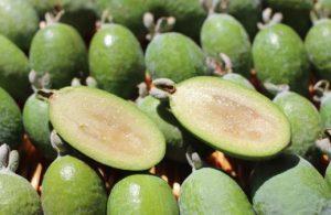 tropiko frouto guava