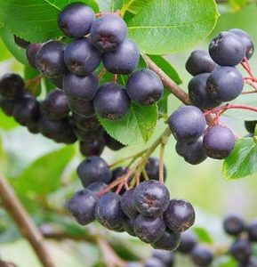 aronia berry superfood