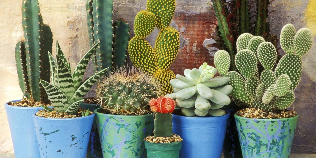 κακτάκια σε μπλε γλάστρα φυτά ανθεκτικά κρύο