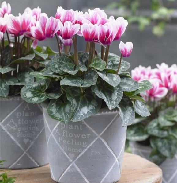 ροζ άσπρο κυκλάμινο γλαστράκια φυτά ανθεκτικά κρύο
