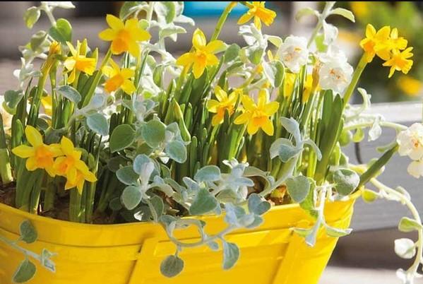 νάρκισσος κίτρινη γλάστρα φυτά ανθεκτικά κρύο