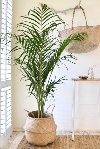 κέντια ψάθινη γλάστρα ψηλό φυτό