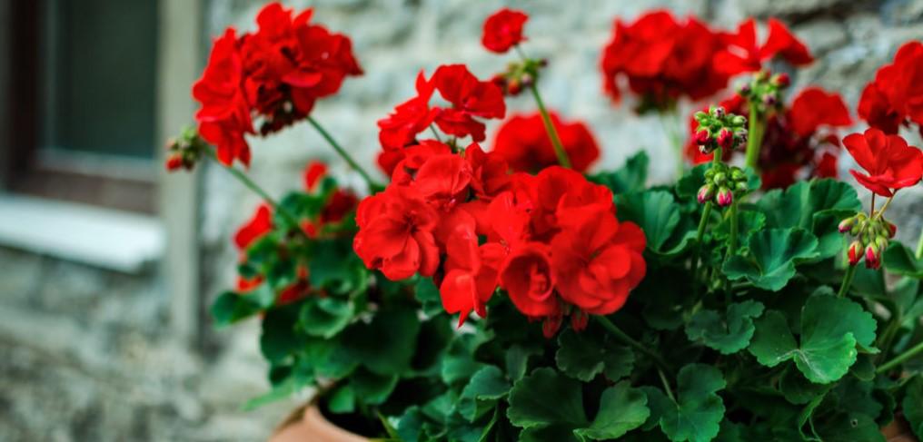 κόκκινο γεράνι άνθη φυτά φτιάχνουν διάθεση