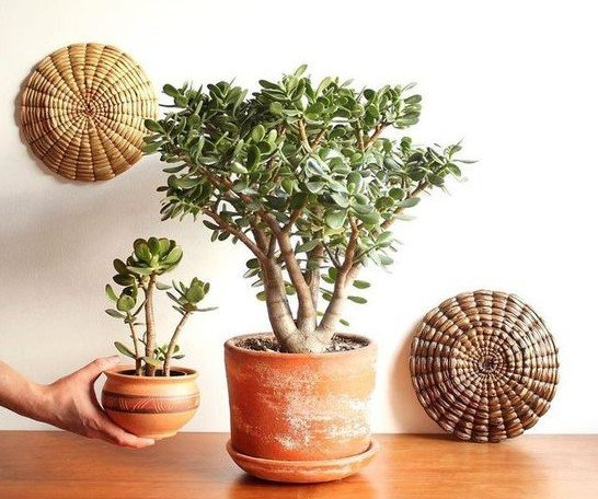πήλινες γλάστρες κράσουλα φυτά θετική ενέργεια