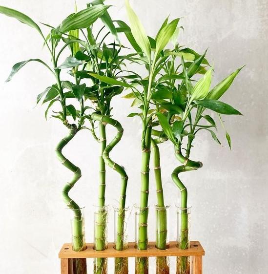τυχερό bamboo κλαράκια φυτά θετική ενέργεια