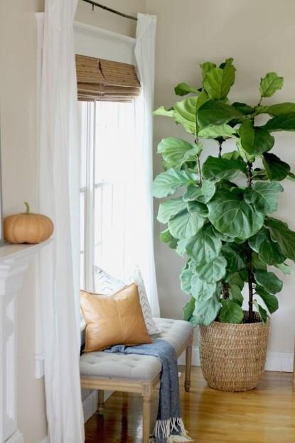 φίκος λυράτα ψάθινο κασπό δάπεδο τοποθετήσεις φυτά