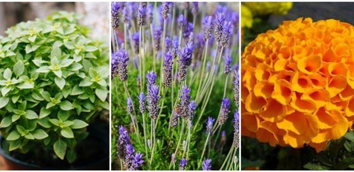 9 Φυτά που διώχνουν τα κουνούπια!