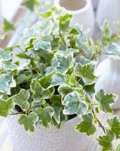 κισσός γλάστρα μπαλκόνι φυτά εύκολο διατηρήσεις