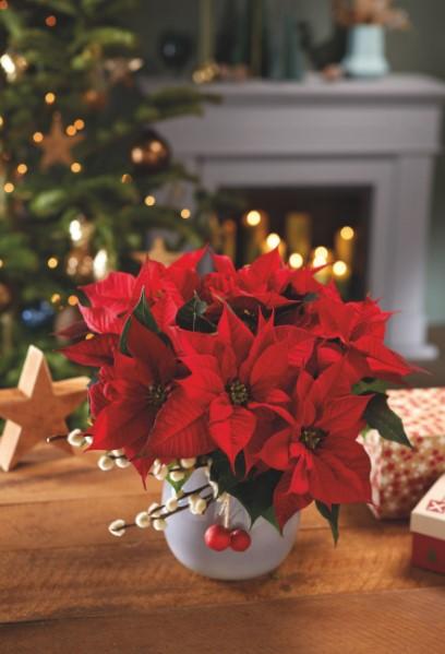κόκκινο αλεξανδρινό Χριστούγεννα