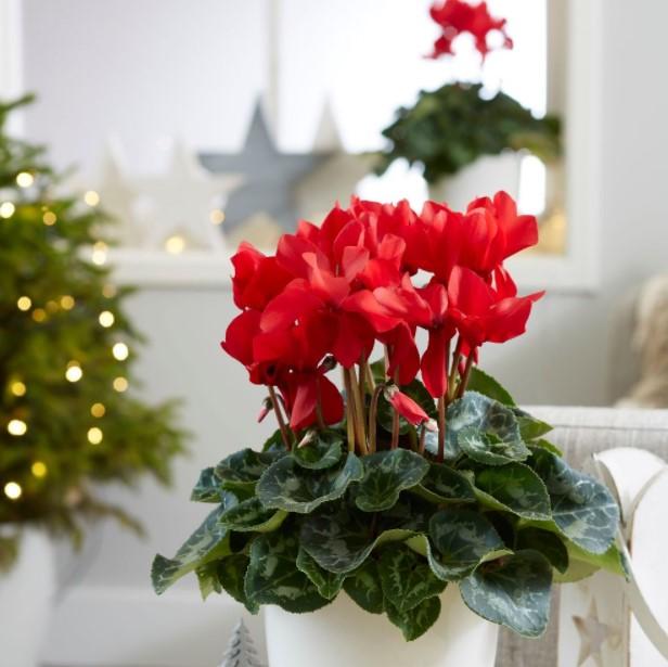 κόκκινο κυκλάμινο Χριστούγεννα χριστουγεννιάτικα φυτά