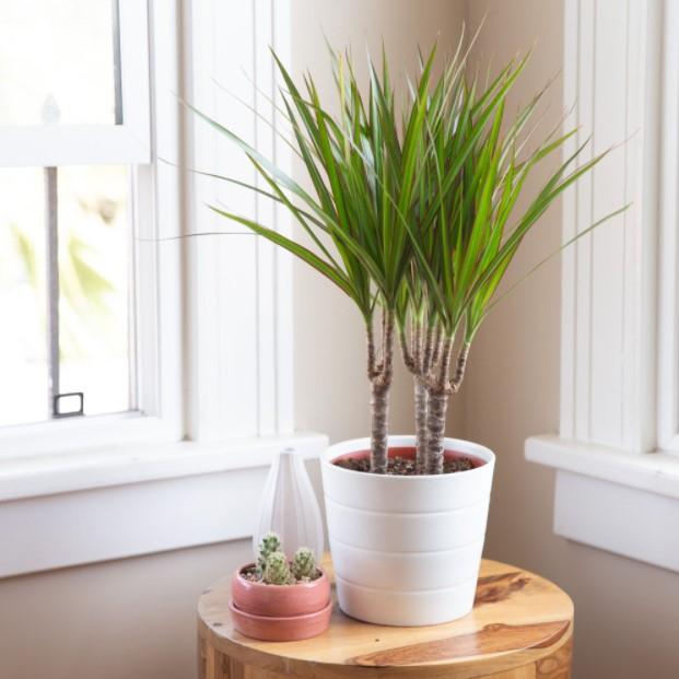 άσπρη γλάστρα δράκαινα φυτά εσωτερικούς χώρους αρχάριους