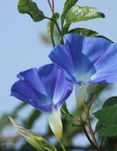 περικοκλάδα είδος άνθους κήπου