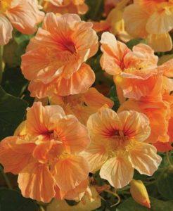 λουλούδι νεροκάρδαμο