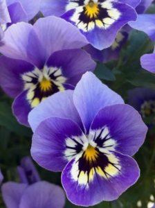 λουλούδι κήπου πανσές