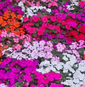 είδος λουλουδιών βαλσαμίνη