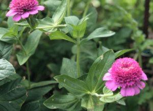 είδη λουλουδιών ζίννια