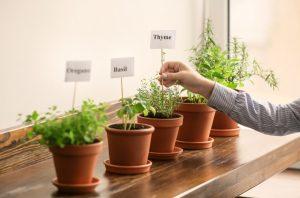φρεσκα αρωματικα φυτα σε γλαστρακια