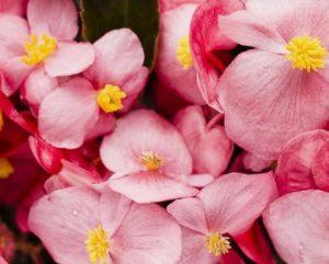 φυτά για μπαλκόνι μπιγκόνια