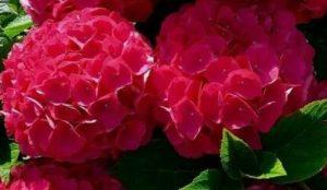 ορτανσία λουλούδι