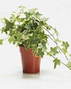 κισσός 10 Όμορφα φυτά για αρχάριους