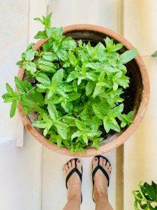 δυόσμος 10 Όμορφα φυτά για αρχάριους!